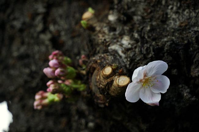 フライング桜♪.jpg